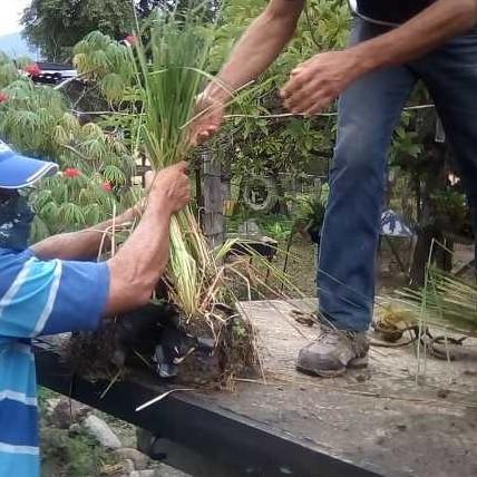 Diario Frontera, Frontera Digital,  GOBIERNO DE MÉRIDA, Politica, ,Imderural y Fundalaguna comenzaron  trabajos de reforestación en la Laguna de Urao