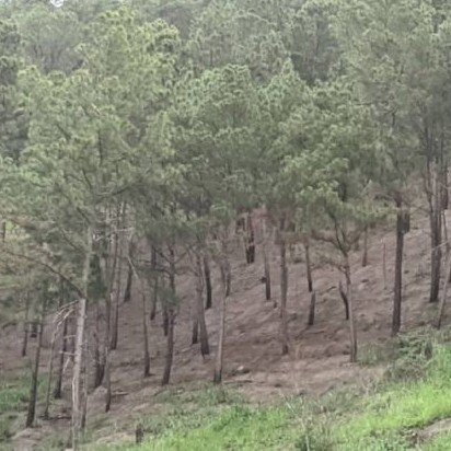 Diario Frontera, Frontera Digital,  ECOCIDIO CAMPO CLARO, MÉRIDA, Regionales, ,ECOCIDIO - Escasez de gas doméstico en Mérida  impulsa la tala para convertir árboles en leña