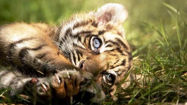 http://www.fronteradigital.com.ve/Nace un raro ejemplar de tigre de Sumatra  en un zoo de Polonia