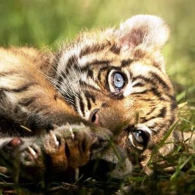 Frontera Digital,  TIGRE DE SUMATRA, Curiosidades,  Nace un raro ejemplar de tigre de Sumatra  en un zoo de Polonia