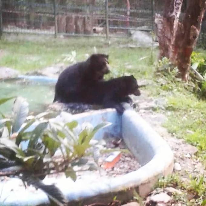 Diario Frontera, Frontera Digital,  CHORROS DE MILLA, Regionales, ,Programa de reproducción  del oso frontino marcha a buen ritmo