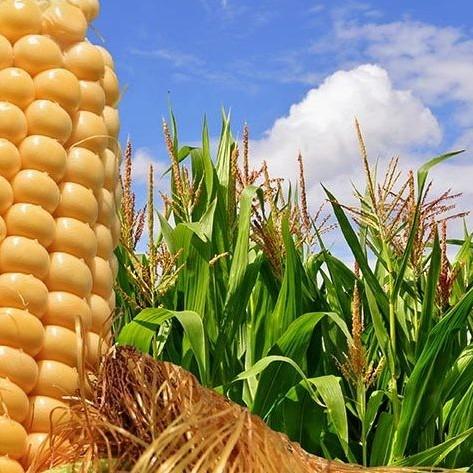 Diario Frontera, Frontera Digital,  SIEMBRA DE MAIZ, Nacionales, ,En 2020 solo fue posible sembrar 10%  de las hectáreas de maíz en Yaracuy